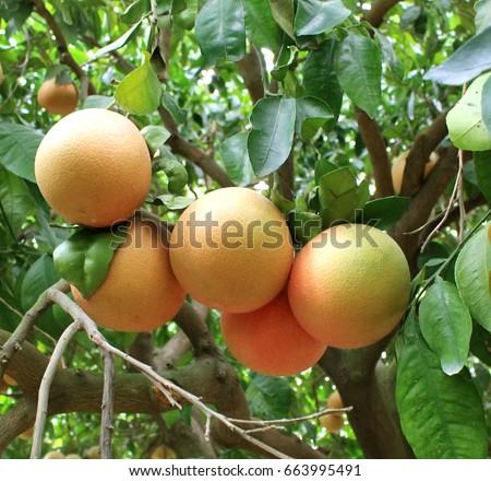Grapefruit, citrus, fruit, tree, leaves, summer, tropics, useful, diet, vitamins, garden, grow, juicy, bitter, green, yellow
