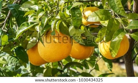 Grapefruit tree closeup 3.