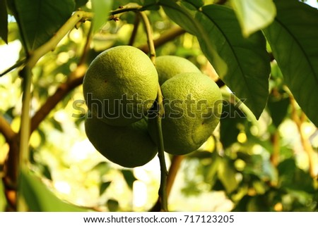 grapefruits on a branch #717123205