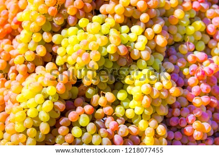Grapes A lot of ripe grapes close-up. The texture of the berries as a background. Winery Italy grape variety wine production. Grape sort. #1218077455