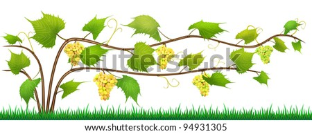 Grapes - abstract shrub with vine, leaves,  mustache and clusters of ripe yellow and green berries isolated illustration. The supports for the fence of branches are not drawn