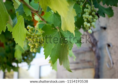 Grapes and grape leaves in the summer #1154193538