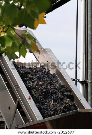 Grapes are picked and about to be processed in California winery