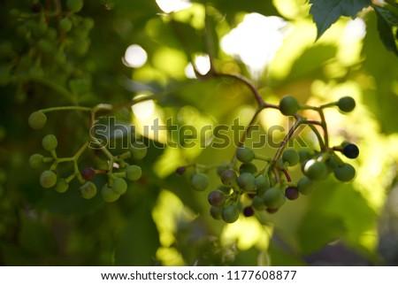 Grapes green berries sunlight garden sunlight branch  #1177608877