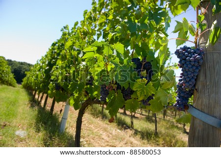 Grapes hanging in a vineyard in Tuscany in Italy.