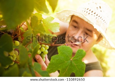 Grapes harvest. Farmer is harvesting ripe grapes in vineyard in autumn