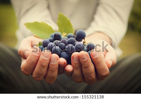 Grapes harvest. Farmers hands with freshly harvested black grapes. #155321138
