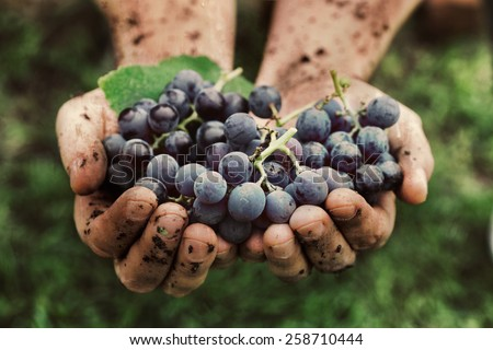 Grapes harvest. Farmers hands with freshly harvested black grapes. #258710444