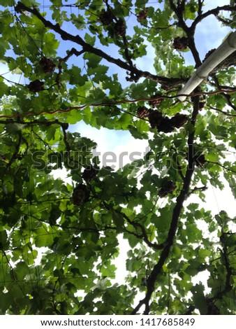 Grapes in a grapevine in La Union #1417685849