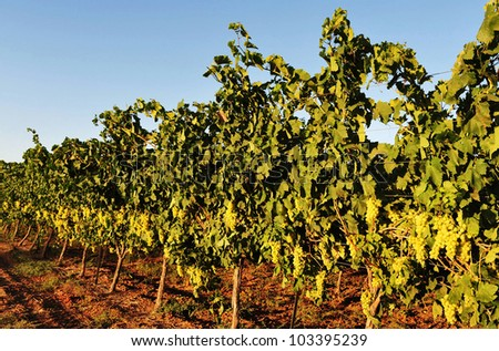 Grapes in a vineyard.