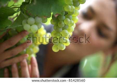 Grapes in a vineyard being checked over