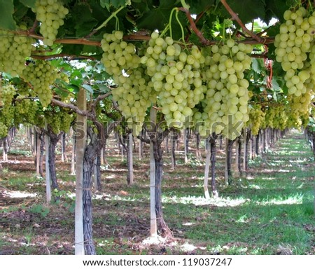 Grapes in a Wine vineyard in Apulia in the south of Italy