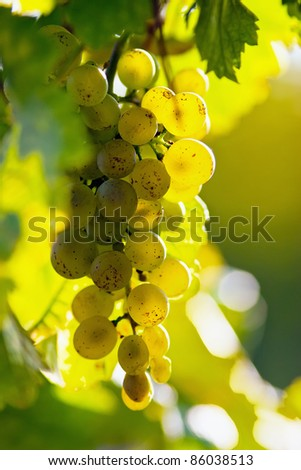 grapes in the sun - stock photo