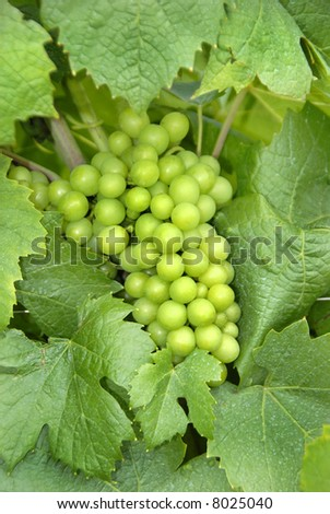 Grapes in the vineyard