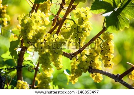 grapes in the vineyard of winemaker. vineyard in autumn.