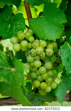 Grapes in Virginia vineyard almost ready to harvest