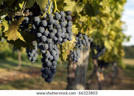grapes of the vine at a vineyard
