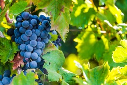 Grapes on the plantation of grapevines in Apulia, Italy.