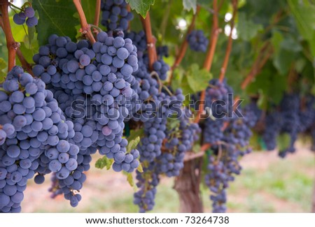 Grapes on the Vine Still in the Farmers Field created by a Master Vintner