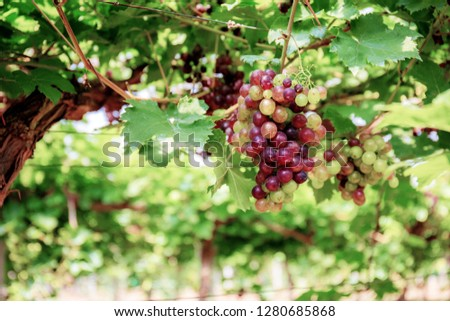 Grapes on tree in vineyard with the sunlight. #1280685868