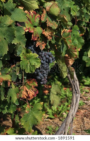 Grapes on vine.