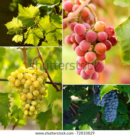 Grapes on vine sunny day - stock photo