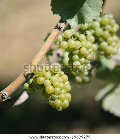 Grapes on Vines at Winery