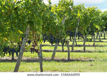 Grapes on vines in French vineyard