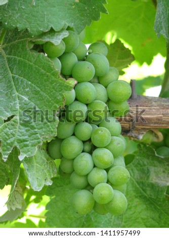 Grapes ready for picking in the vineyard #1411957499
