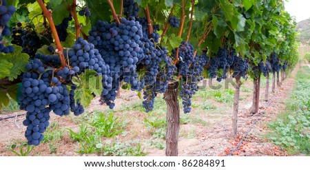 Grapes ready to harvest made by a vintner in an established winery