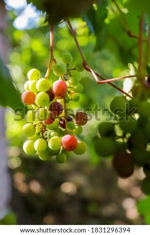 grapes ripened among the lush leaves Stok fotoğraf ©