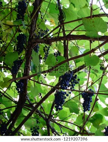 grapes vine nature #1219207396
