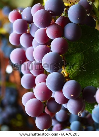 grapes watered by the rain in italian vineyard