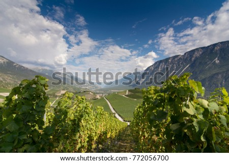 Grapevine in the sunny Rhone valley in the summertime.