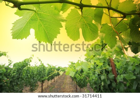 Grapevine plants in Napa Valley, California, USA. Shallow DOF.