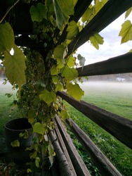 Grapevine wrapped around barn wooden bar with morning mist rising over meadow in the background