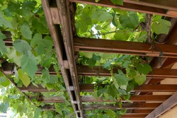 Grapevines on house. Greenhouse