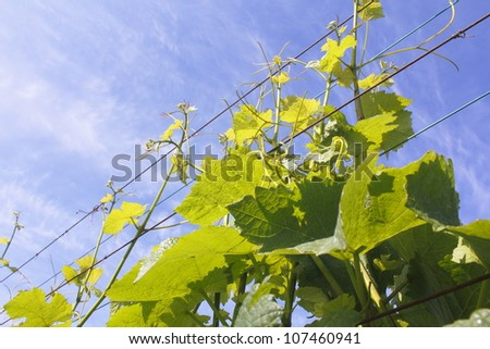 Grapevines twist a curl around a metal wire frame/.Grapevines on a Support Wire/Grapevines are supported by wire strung along posts.