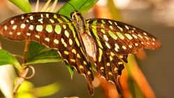Graphium Agamemnon butterfly, also known as Green-Spotted Triangle, Tailed Green Jay or Green Triangle, perched on the leaf, on a colorful blurry background