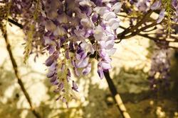Grappes de fleurs de glycine en paysage