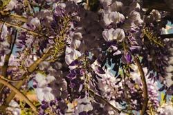 Grappes de fleurs tombantes de glycine