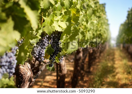 Grappes in a vineyard row