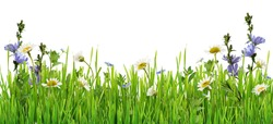 Grass and daisy flowers row isolated on white background