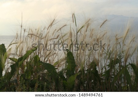 Grass and leaves on a background of the sea. Hordeum jubatum (foxtail barley, squirreltail barley, bobtail barley, intermediate barley) plant. #1489494761