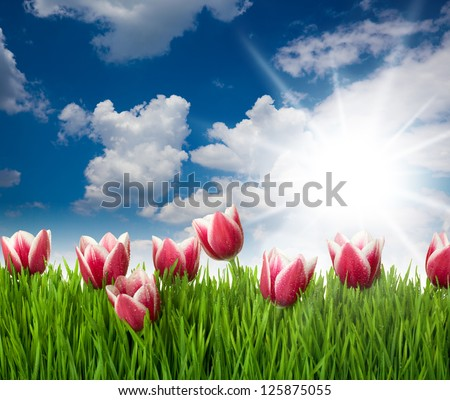 Grass and Pink Tulip's Flowers with water drops  against blue sky and sun