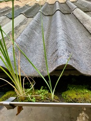 Grass and weeds grow in the gutter under the roof of the house.