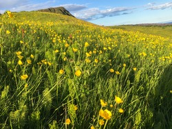 Grass and wild flower field with mountain in the background. Yellow flower and green grass meadow. Icelandic summer