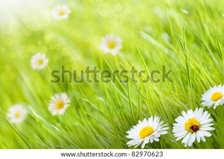 grass background with daisies flowers and one ladybird, this is a sunny day - image is blurry on the left side for copy space