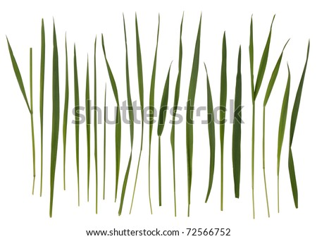 Grass blades isolated on white