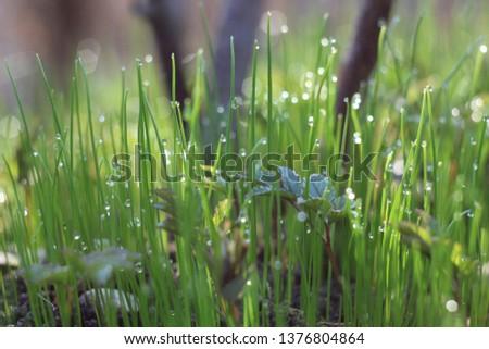grass blades of morning dew glistening in the sun